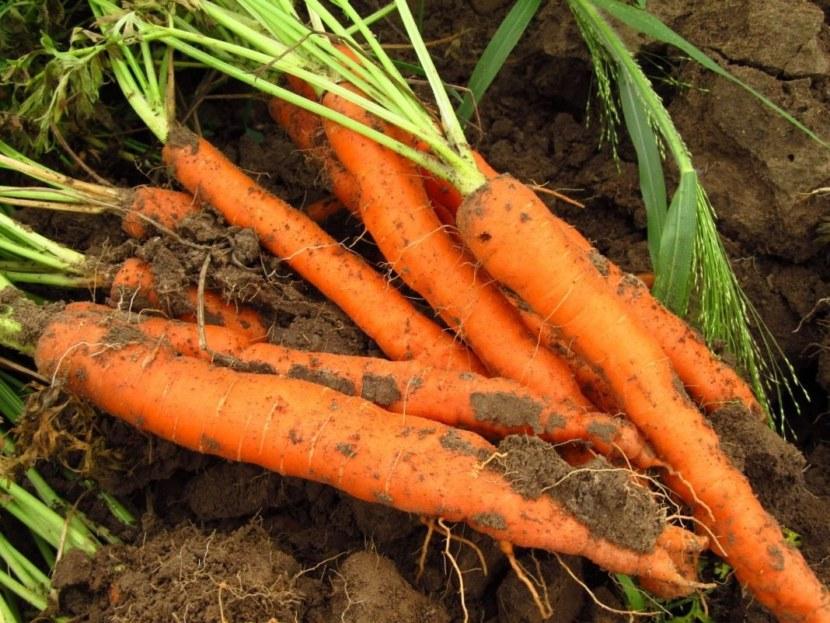 корнеплода моркови картинки выполняется амбулаторно приеме