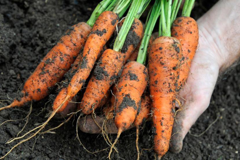 особой корнеплода моркови картинки прочный долговечный строительный