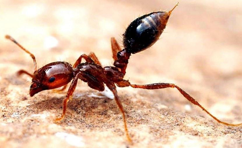 Как выглядит муравей
