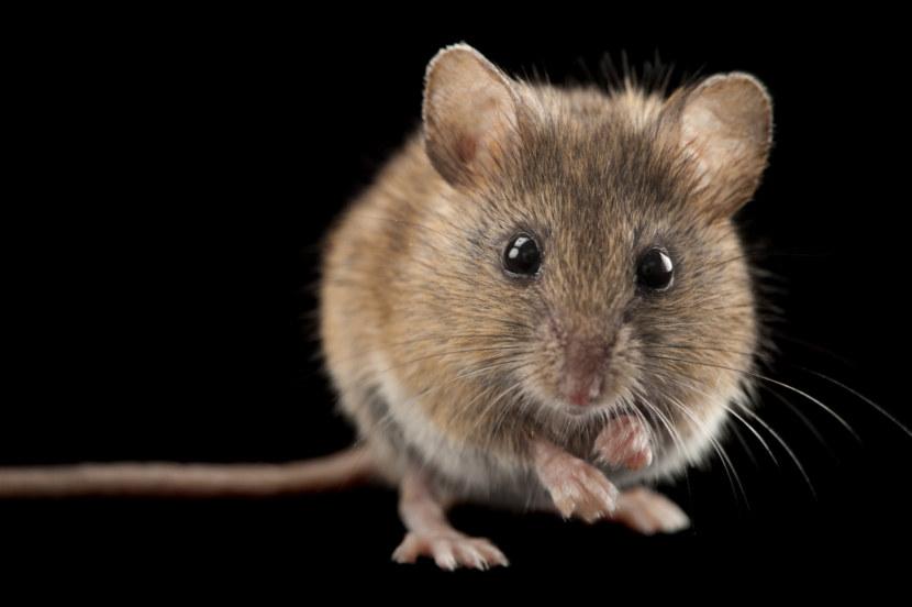 мышка животное картинки