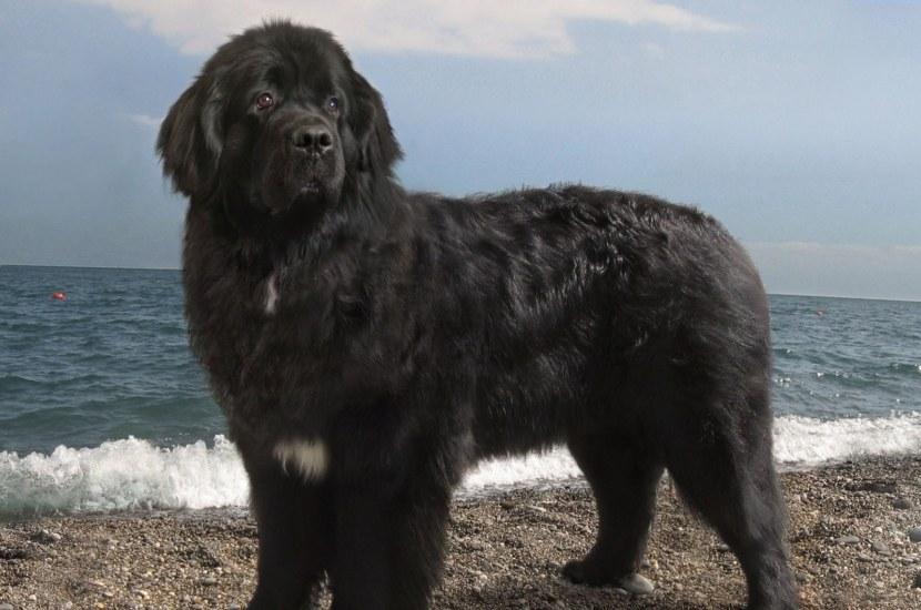 как выглядит собака ньюфаундленд