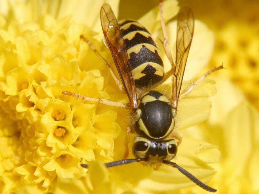 Оса пчела картинка