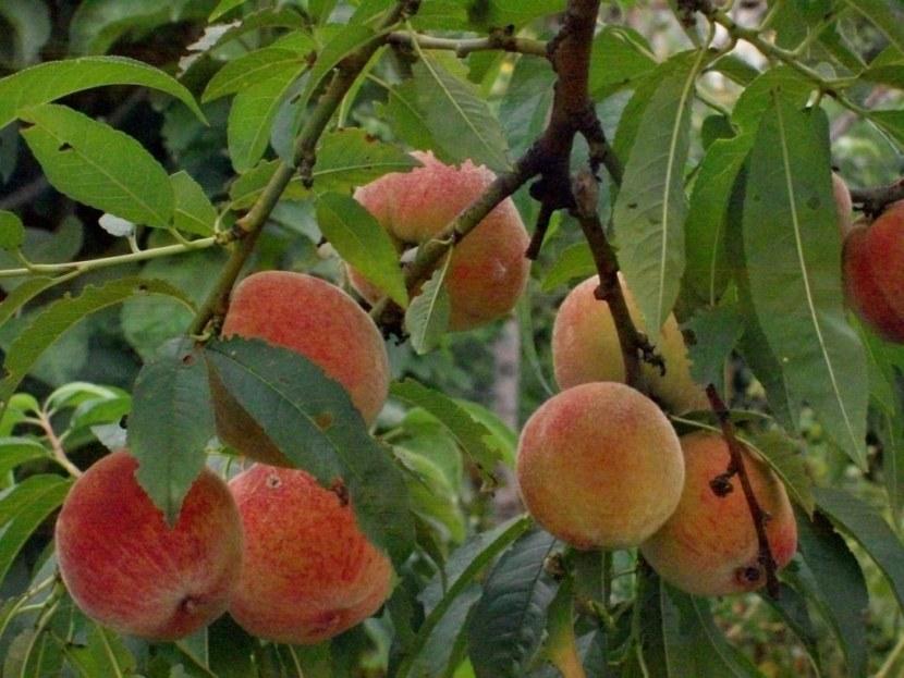 Персик – сорта, посадка, обрезка и уход за ним