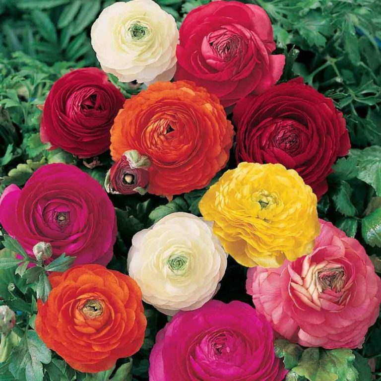 допускается фотографии цветов лютиков категория прорисовка всего