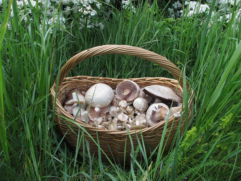 Шампиньоны — подготовка к выращиванию, посадка и поиск