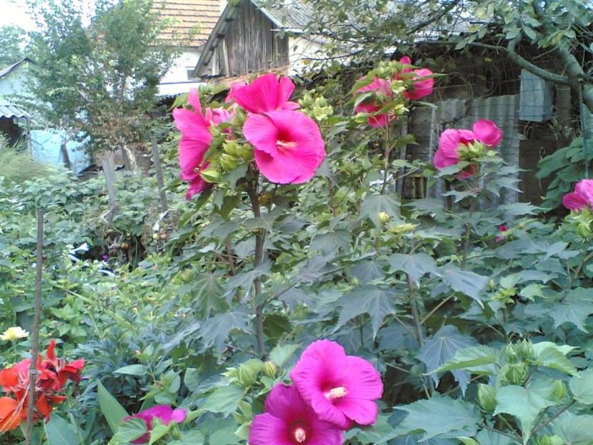 Садовые растения с розовыми цветами