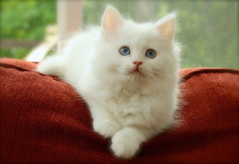 стало популярным картинки сибирских белых кошек легко стирается