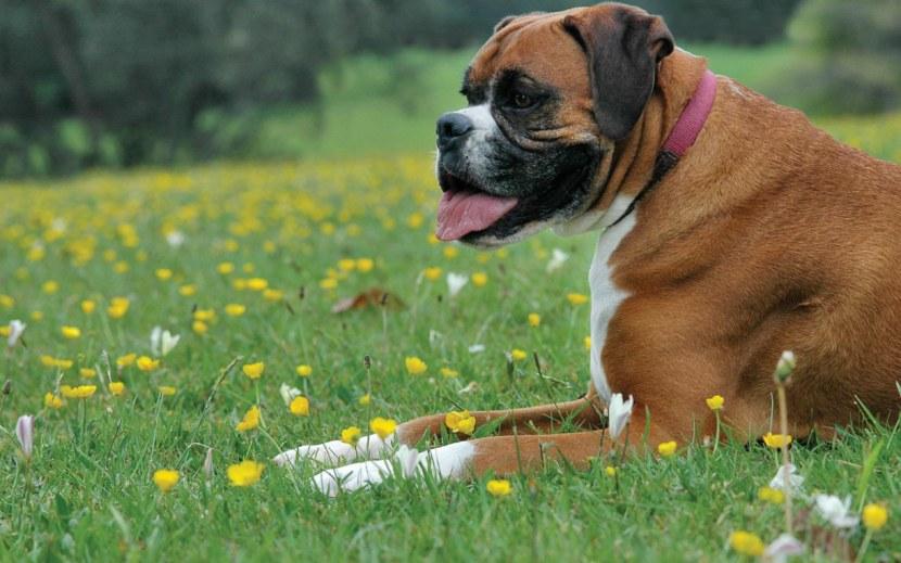 Картинки по запросу собаки боксеры