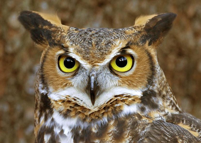 Кто такая сова как е назвать что она ест и особенности вида