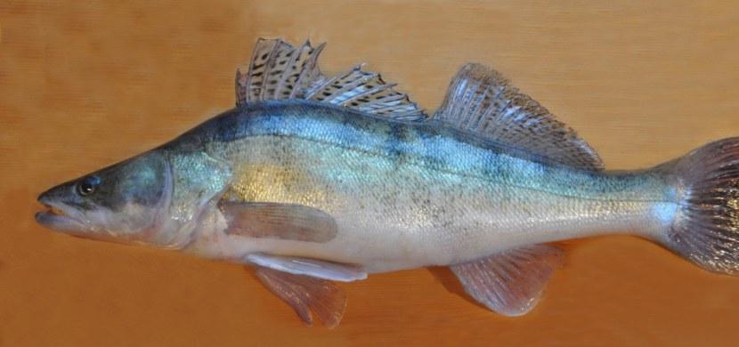 Судак рыба в картинках