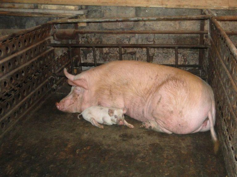 фото домашних свинарников если хотите долго