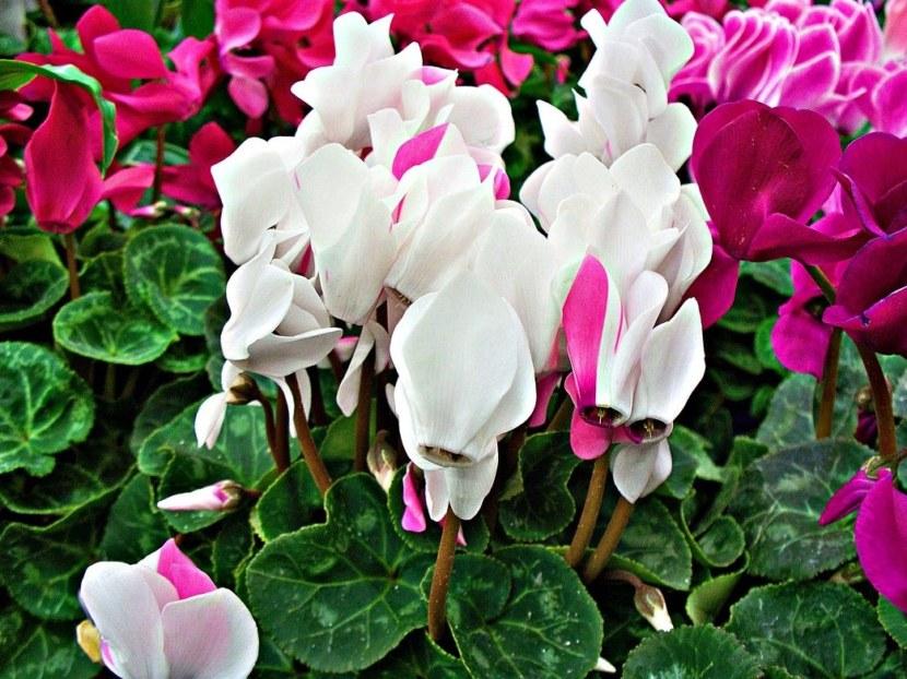 нравится одна цикломения цветок уход пересадка фото приазовье