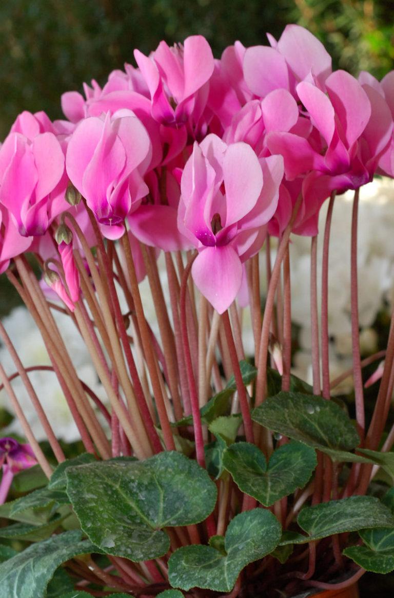 изготовлении картинки цветы цикламен ухода