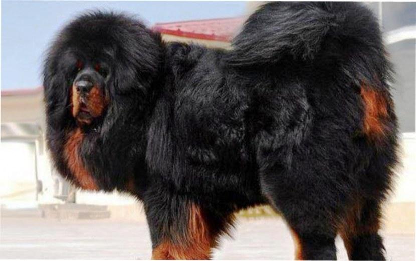 показать собаку тибетский мастиф