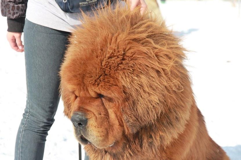 Тибетский мастиф собака фото