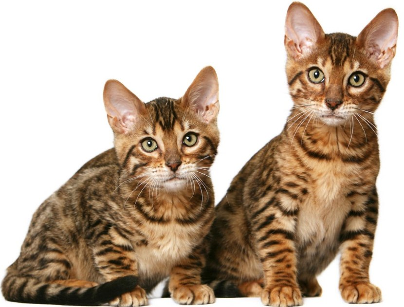 Порода кошек тигрового окраса