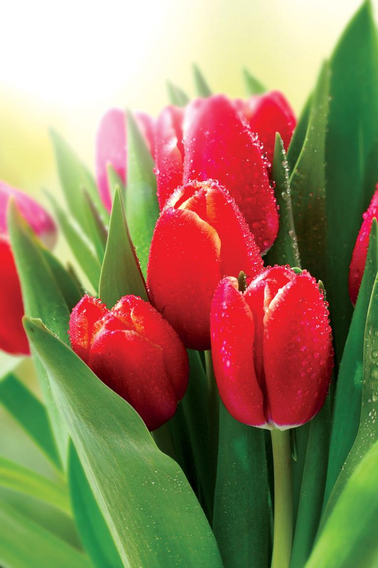 Открытки цветы красивые тюльпаны