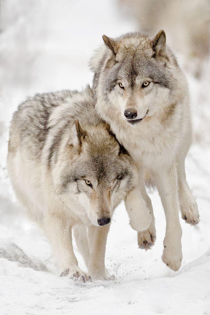 входной группы картинки с красивыми волками узнать, как