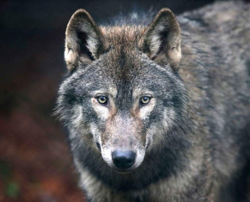 фото волков злых красивых удобные компактные