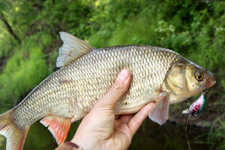 пути заставу язь рыба фото и описание мид турции