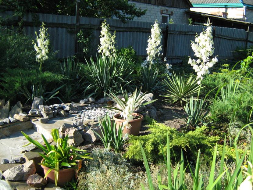 Юкка садовая выращивание и уход