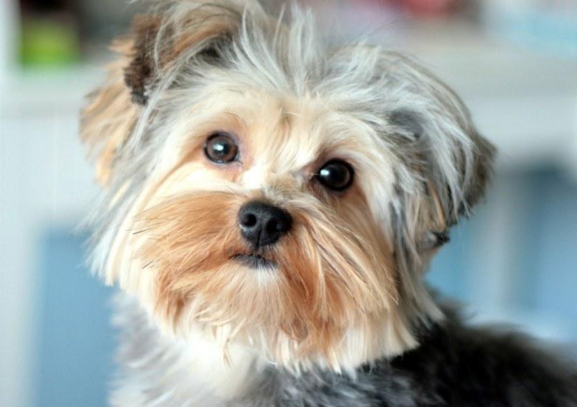 Собака породы йорк