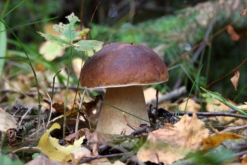 желчный гриб съедобный