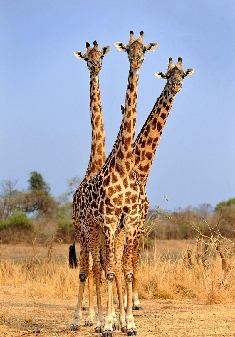 Жирафы картинки прикольные, открытке букету для
