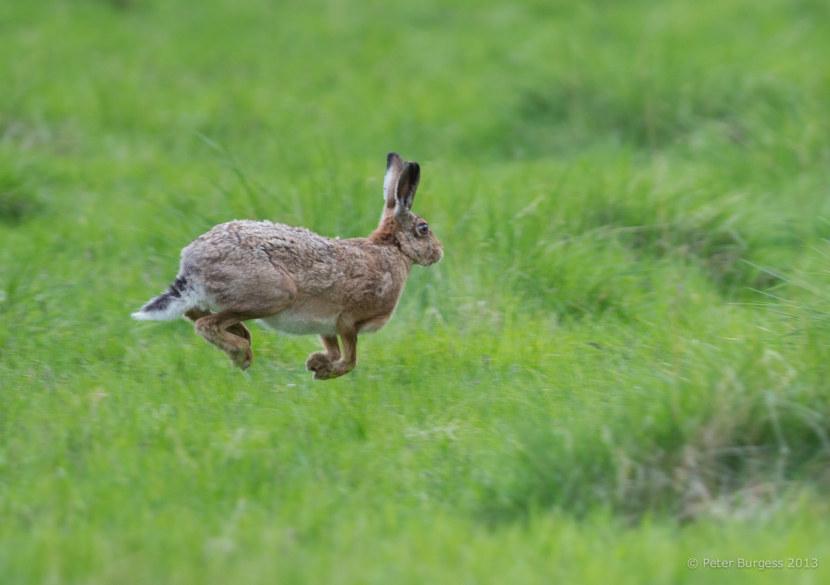 Заяц убегающий картинки