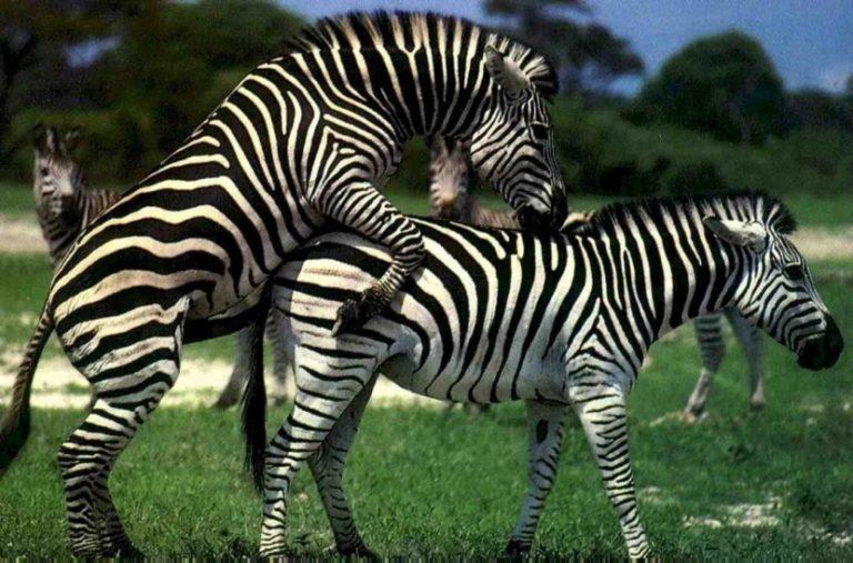 ебет зебра