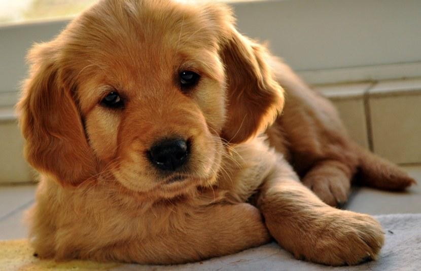 золотой ретривер щенки фото