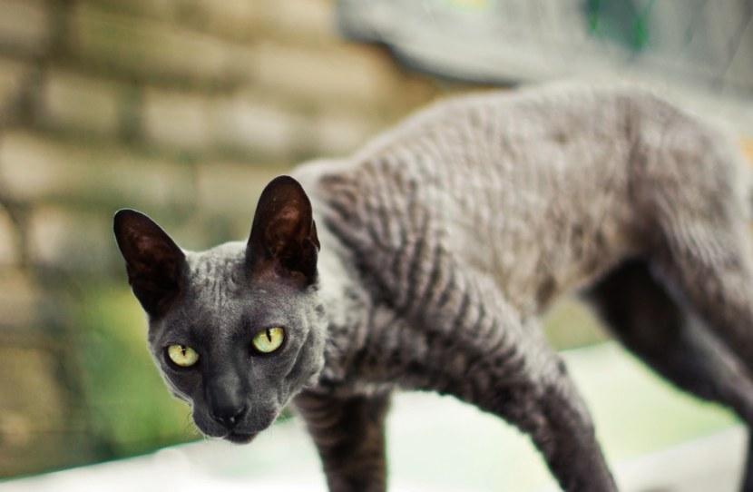 Порода кошек – Корниш Рекс (описание и фото)