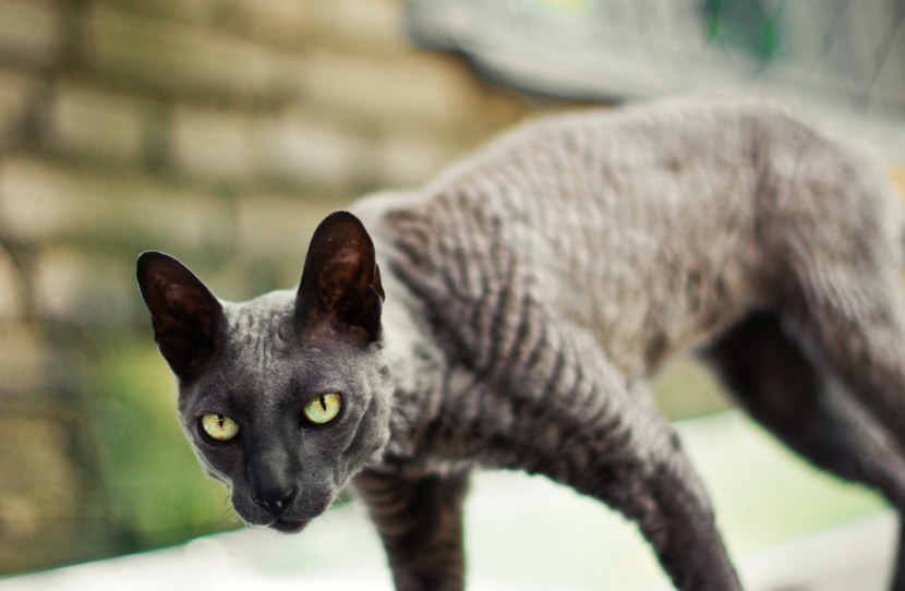 Кошка породы Корниш Рекс (Cornish Rex)