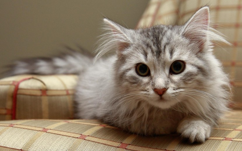 Сибирская кошка описание породы (стандарт) с фото