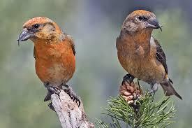 Зимние птицы Клесты