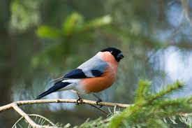 Зимние птицы Снегири