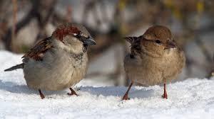 Зимние птицы Воробьи