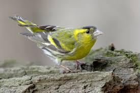 Зимние птицы Чиж