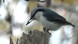 Зимние птицы Поползень