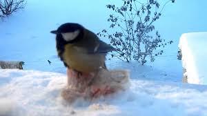 Зимние птицы Синица