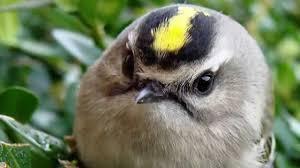 Зимние птицы Королькижелтоголовые