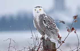 зимние птицы сова
