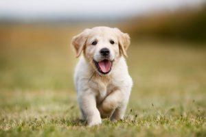 щенок Золотистый ретривер