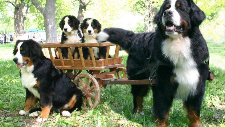 собаки семья