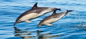 Белобокий дельфин