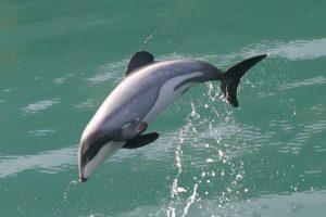 Беломордый дельфин