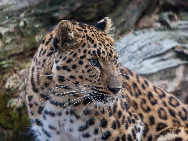 амурский леопард фото и описание была